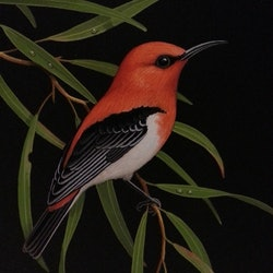 Scarlet honeyeater lyn cooke bluethumb art