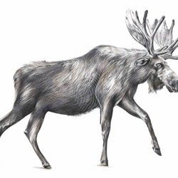 Alces americanus limited edition giclee print jessica le clerc bluethumb art.jpg?w=250&h=250&fit=crop&mark=https%3a%2f%2fimages.bluethumb.com.au%2fbluethumb art assets%2fwatermark%2fbt watermark