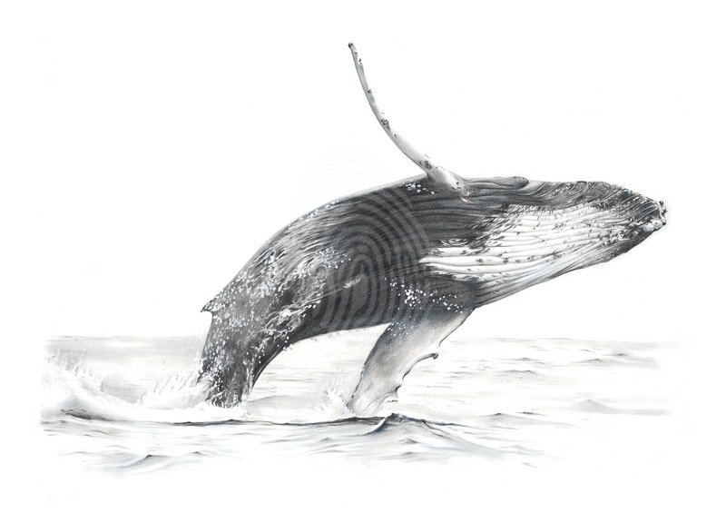 BALAENOPTERA MUSCULUS // LIMITED EDITION GICLÉE PRINT