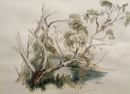 River Gum on the Maribyrnong