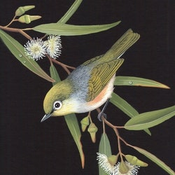 Silvereye lyn cooke bluethumb art