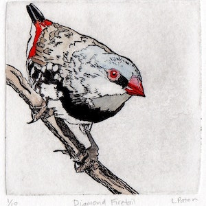 Diamond firetail hand coloured etching lydie paton bluethumb art b593
