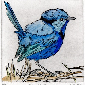Splendid fairywren hand coloured etching lydie paton bluethumb art 1dd1