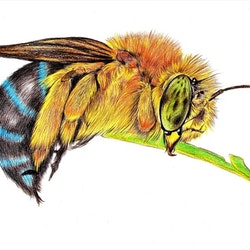 Blue banded bee linda hammond bluethumb art 56d5