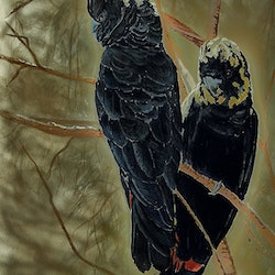 Glossy black cockatoos peter macdonald bluethumb art 20a1