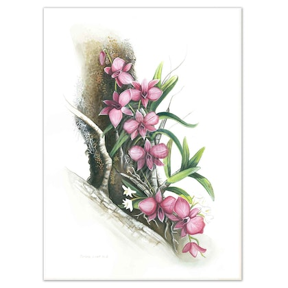 Australian Cooktown  Orchid Watercolour painting - Limited edition print Ed. 50 of 100