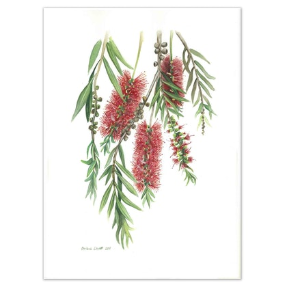 Australian Bottlebrush Watercolour painting - Limited edition print Ed. 50 of 100
