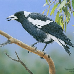 The pied piper australian magpie limited edition giclee print frances mcmahon bluethumb art b7fd