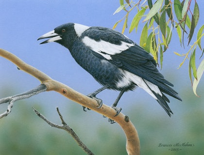 """The Pied Piper"" (Australian Magpie) LIMITED EDITION GICLEE PRINT Ed. 4 of 10"