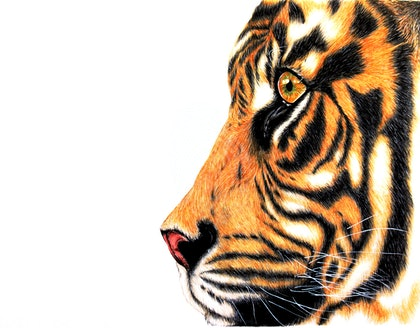 Tiger Study in Pastels and Charcoals