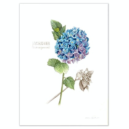 Hydrangea - Limited edition print Ed. 12 of 100