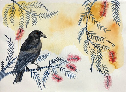 Currawong at Dusk