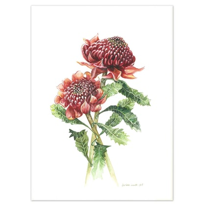 Australian Waratah Watercolour painting - Limited edition print Large Framed Ed. 51 of 100