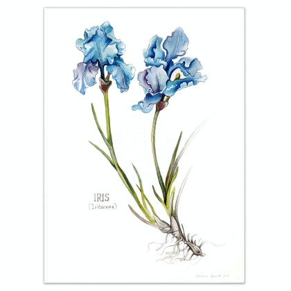 Iris  flowers - Limited edition print Large Framed Ed. 54 of 100