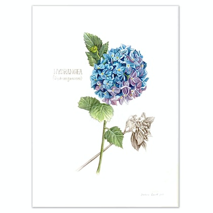 Hydrangea - Limited edition print large - Framed Ed. 14 of 100