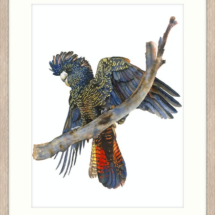 Red Tail Black Cockatoo FRAMED Ed. 5 of 50
