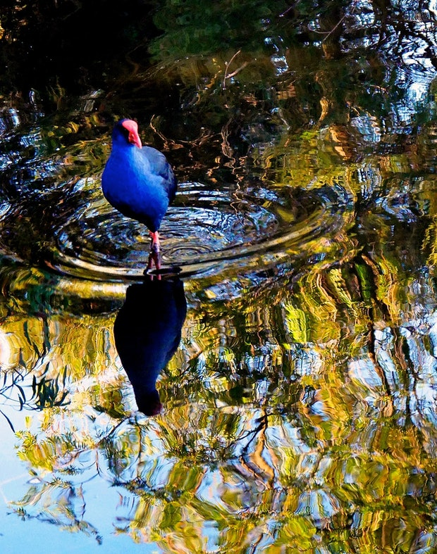 THE BLUE COOT
