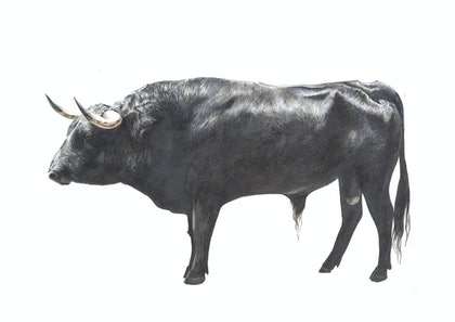 (CreativeWork) BOS TAURUS II // LIMITED EDITION GICLÉE PRINT by Jess Le Clerc. print. Shop online at Bluethumb.