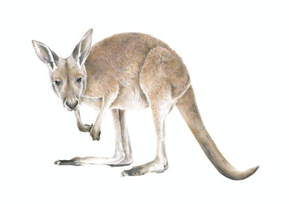 (CreativeWork) MACROPODIDAE // LIMITED EDITION GICLÉE PRINT by Jess Le Clerc. print. Shop online at Bluethumb.