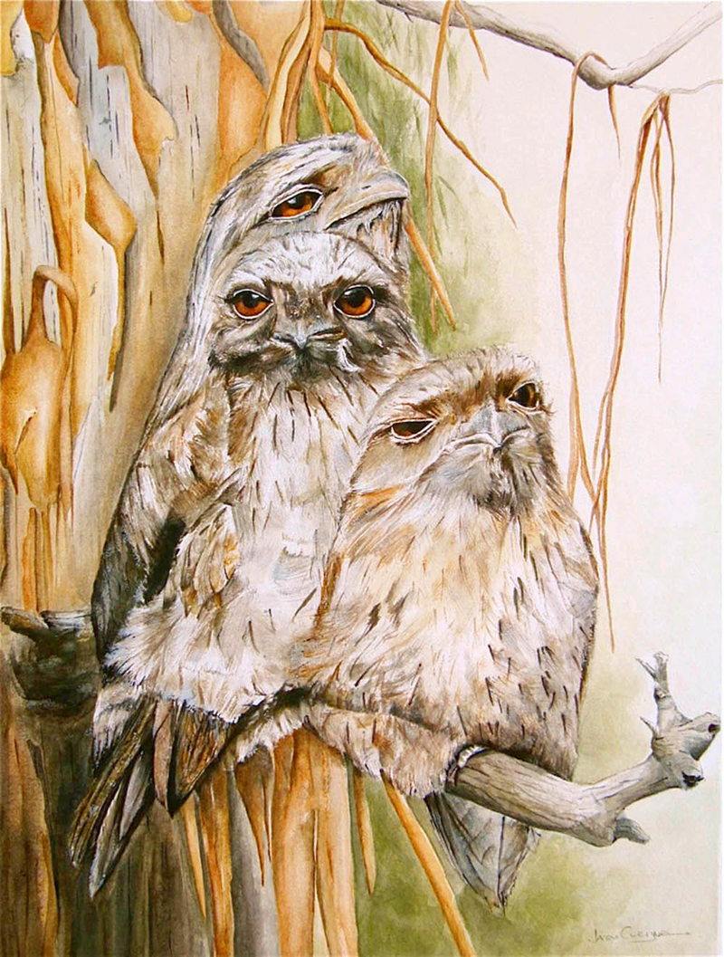 (CreativeWork) Tawny Frogmouth Family Series  by Jacqui Cleijne. watercolour. Shop online at Bluethumb.