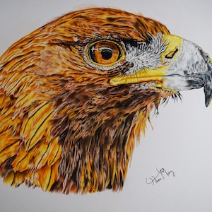 (CreativeWork) Golden eagle by Hiten Mistry. drawing. Shop online at Bluethumb.