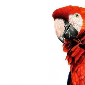 (CreativeWork) Scarlet Macaw Limited Edition Print Ed. 50 of 100 by Alana Jones. Print. Shop online at Bluethumb.