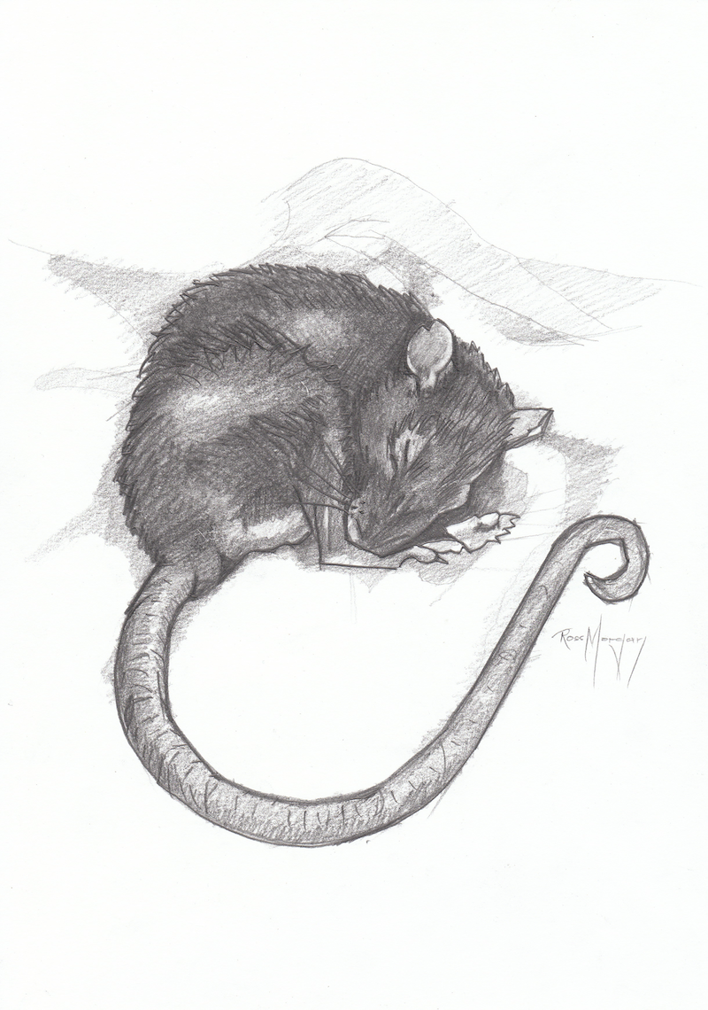 (CreativeWork) SLEEPING RAT by Ross Morgan. drawing. Shop online at Bluethumb.