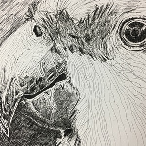 (CreativeWork) Lined parrot by Lisa Hearl. drawing. Shop online at Bluethumb.