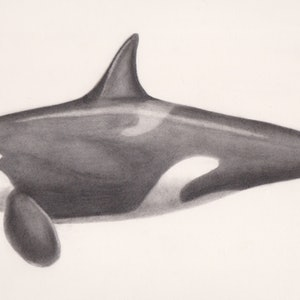 (CreativeWork) Orcinus orca by Samantha Blanks. drawing. Shop online at Bluethumb.