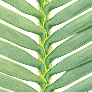(CreativeWork) Wollemi Pine Leaf by Samantha Blanks. drawing. Shop online at Bluethumb.