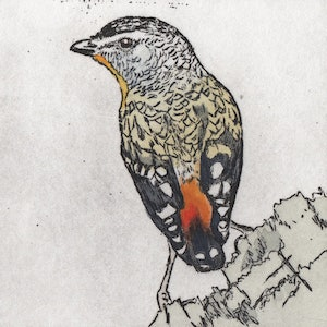 (CreativeWork) Woodland Bird Series (Set of 4 Individual Hand-coloured Etchings) by Lydie Paton. mixed-media. Shop online at Bluethumb.