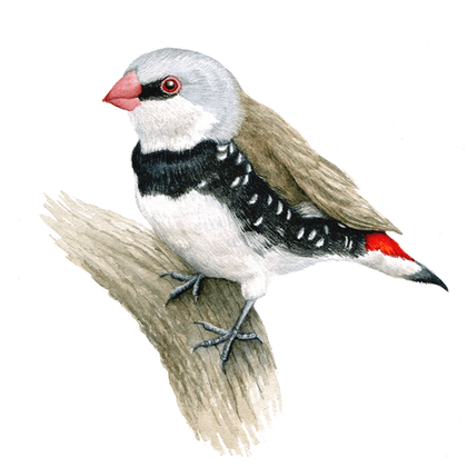 (CreativeWork) Australian Diamond Firetail Finch (Framed) by Katherine Appleby. watercolour. Shop online at Bluethumb.