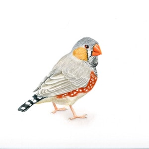 (CreativeWork) Australian Zebra Finch (Framed) by Katherine Appleby. #<Filter:0x000055c87999ea48>. Shop online at Bluethumb.