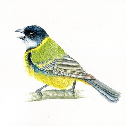(CreativeWork) Australian Golden Whistler (Framed) by Katherine Appleby. watercolour. Shop online at Bluethumb.