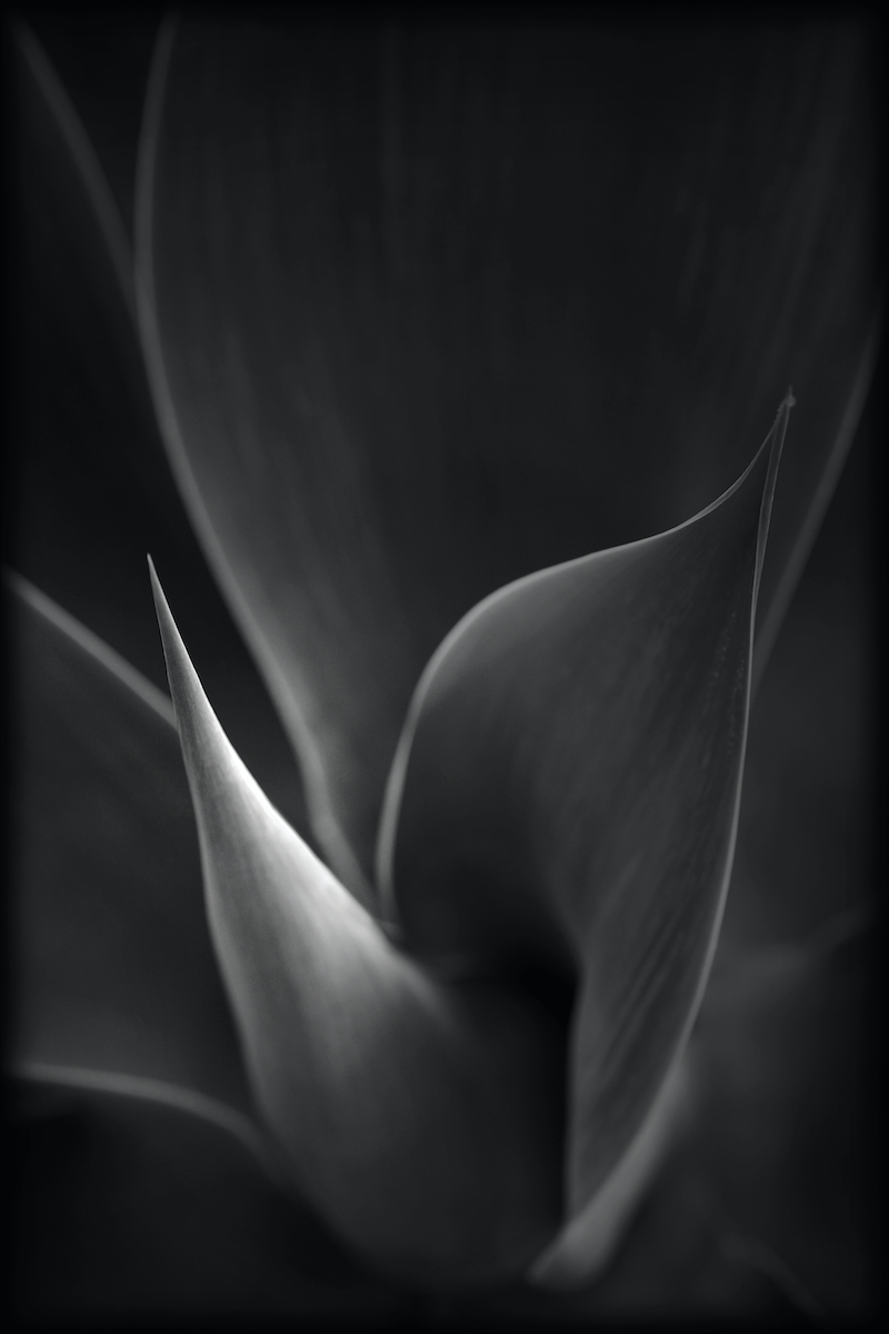 (CreativeWork) Agave by silvi Glattauer. photograph. Shop online at Bluethumb.