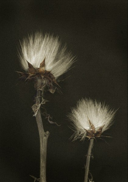 (CreativeWork) Black Knapweed by silvi Glattauer. photograph. Shop online at Bluethumb.