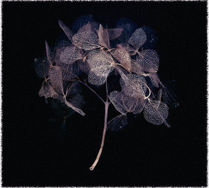 (CreativeWork) Hydrangea by silvi Glattauer. photograph. Shop online at Bluethumb.