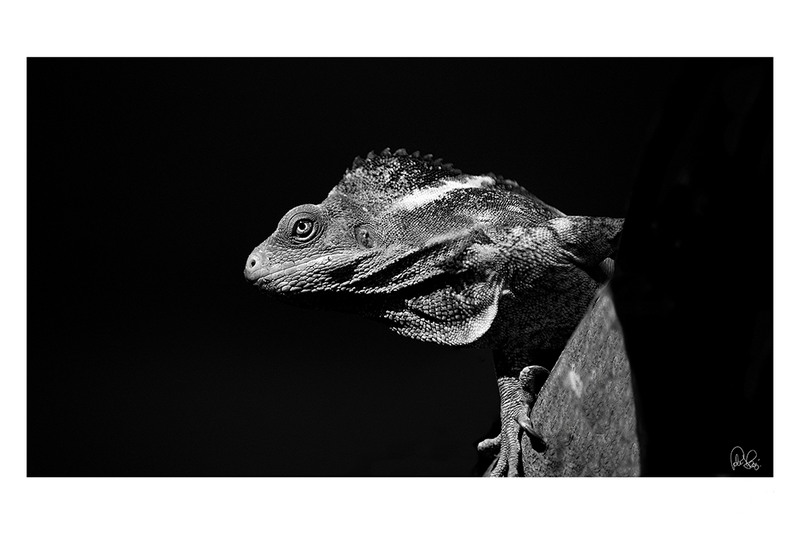 (CreativeWork) P 042 Fiji Banded Iguana by Peter Henning. photograph. Shop online at Bluethumb.