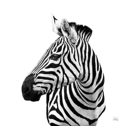 (CreativeWork) PJ's 100 Zebra Ed. 3 of 200 by Peter Henning. Photograph. Shop online at Bluethumb.