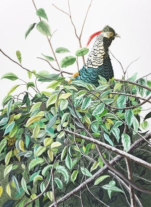 (CreativeWork) 'On Alert' - Lady Amherst's Pheasant WATERCOLOUR by Dario Zanesco. Watercolour Paint. Shop online at Bluethumb.