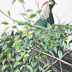 (CreativeWork) 'On Alert' - Lady Amherst's Pheasant WATERCOLOUR by Dario Zanesco. watercolour. Shop online at Bluethumb.