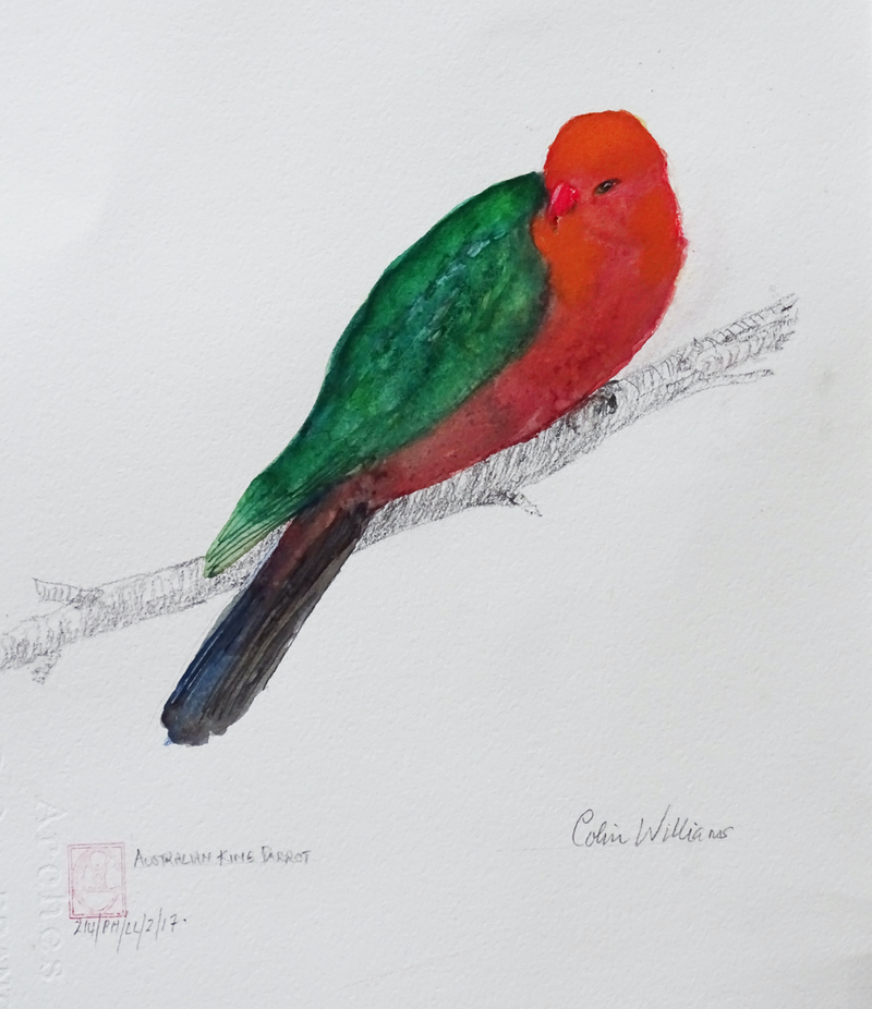 (CreativeWork) King Parrot (male) by Colin L. Williams. watercolour. Shop online at Bluethumb.