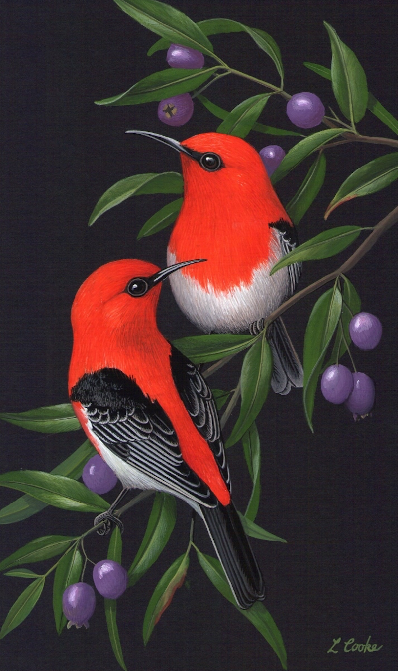 (CreativeWork) Scarlet Honeyeaters by Lyn Cooke. watercolour. Shop online at Bluethumb.