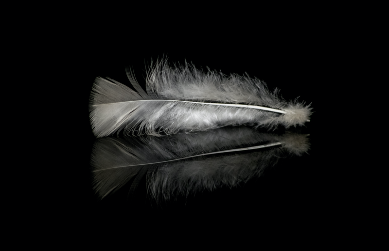 (CreativeWork) Broad Breasted White Turkey by Stefanie Roeske. photograph. Shop online at Bluethumb.