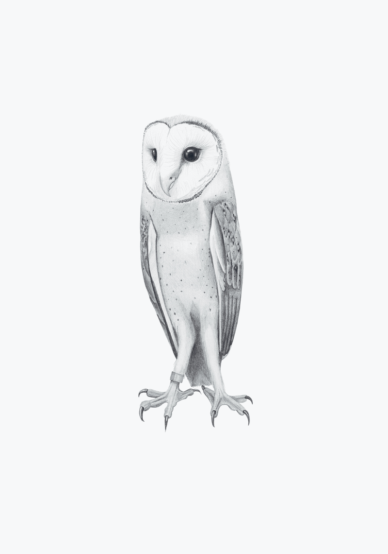 (CreativeWork) Barn Owl – A3 illustration by Clare McCartney. drawing. Shop online at Bluethumb.