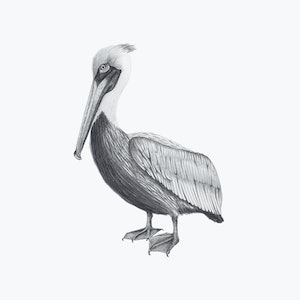 (CreativeWork) Brown Pelican - A3 illustration by Clare McCartney. drawing. Shop online at Bluethumb.