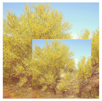 (CreativeWork) Wattle in Full Bloom Ed. 2 of 50 by Vanessa Bertagnole. Photograph. Shop online at Bluethumb.