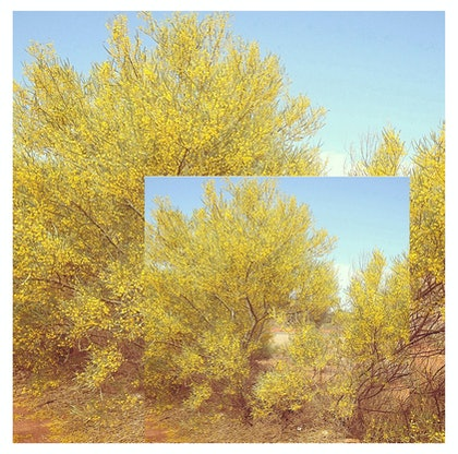 (CreativeWork) Wattle in Full Bloom by Vanessa Bertagnole. photograph. Shop online at Bluethumb.