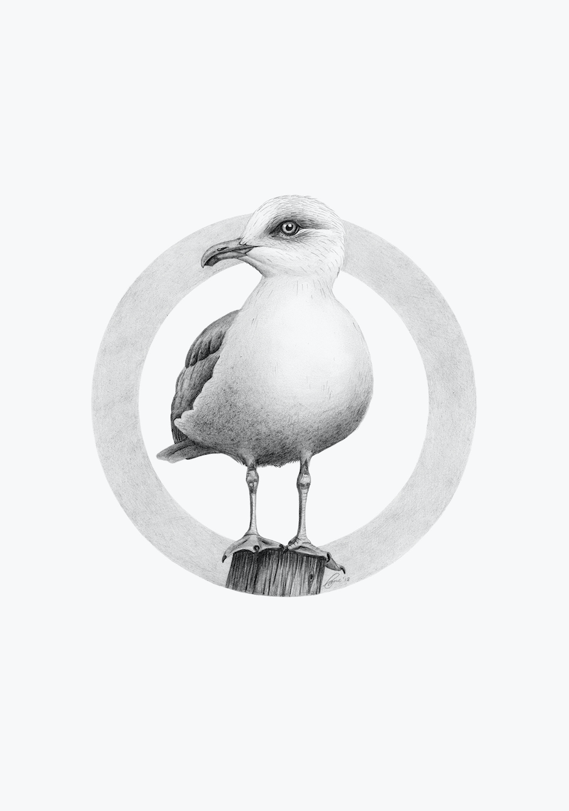 (CreativeWork) European Herring Gull – A3 illustration by Clare McCartney. drawing. Shop online at Bluethumb.