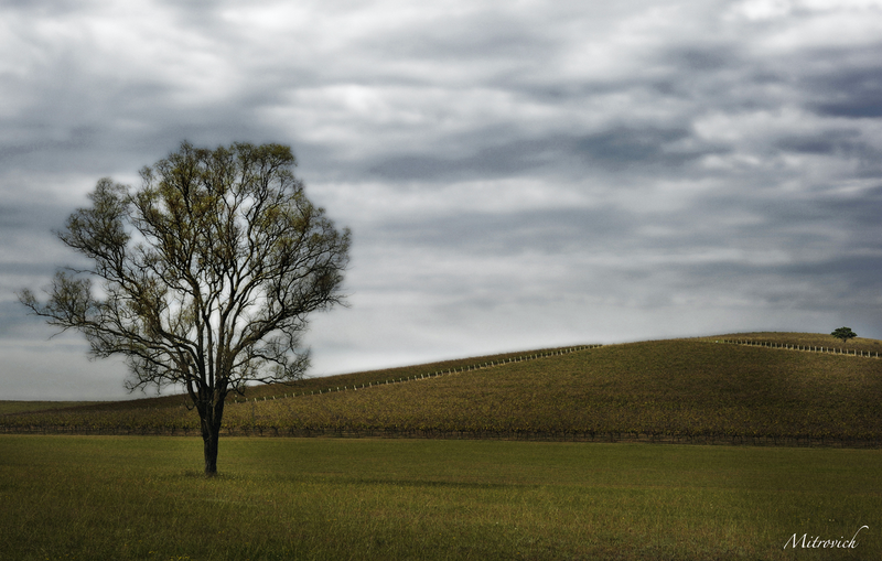 (CreativeWork) Tree in the Vines Study#221 by Simon Mitrovich. photograph. Shop online at Bluethumb.